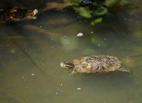 North Woods Turtles